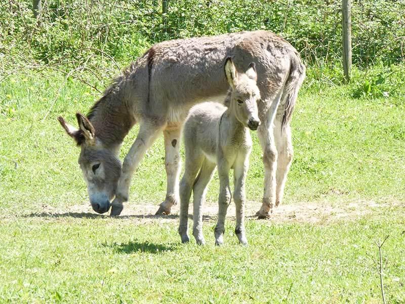élevage d'âne belgique